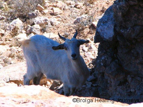 Feral goat, north of Carnarvon WA