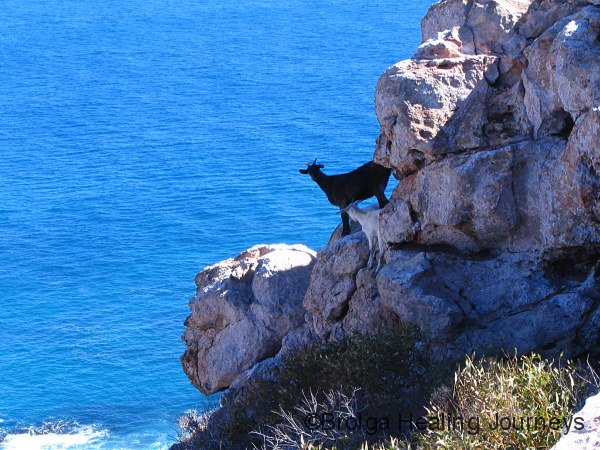 Feral goats, north of Carnarvon WA, demonstrating why they compete with Rock Wallabies for territory