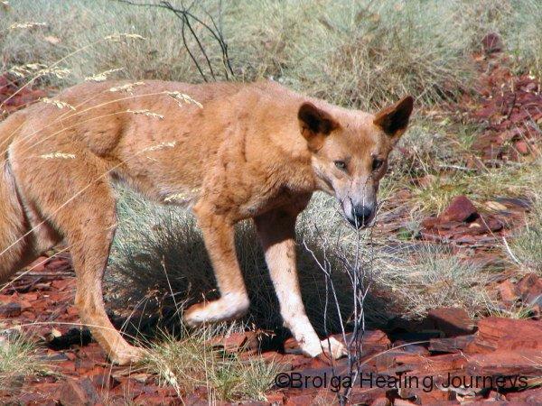 Dingo, Karijini Ntl Pk, WA. Our first known feral species!
