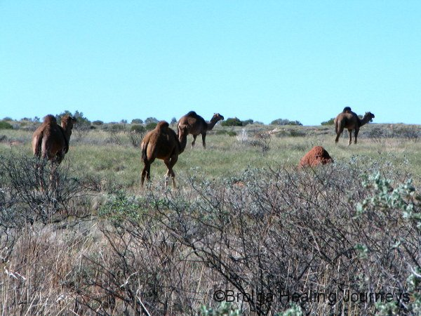 Feral camels, Rudall river Ntl Pk, outback WA
