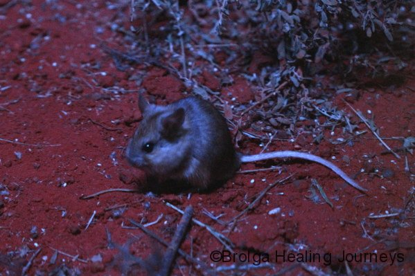 Another view of the Plains Rat.