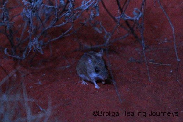 Spinifex Hopping mouse, alice Springs Desert Park