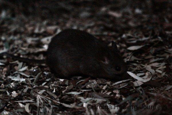 Greater Stick Nest Rat, Alice Springs Desert Park