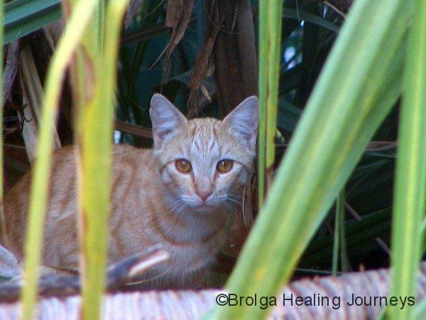 Feral Cat, Mornington Wildlife Sanctuary WA.  Don't you dare say it's cute!