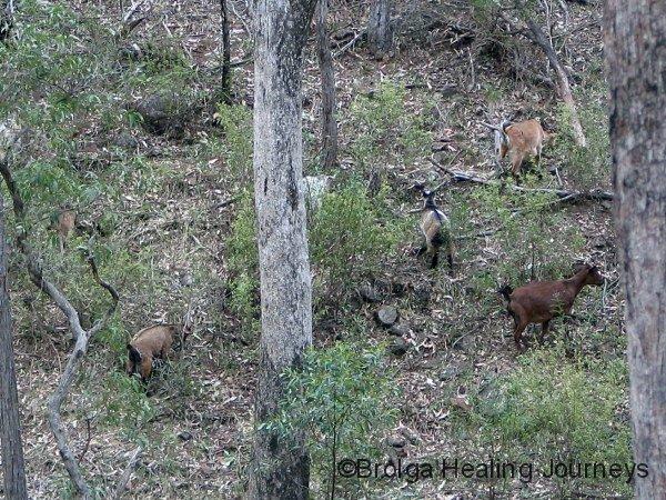 Feral goats, Warrumbungle Ntl Pk NSW