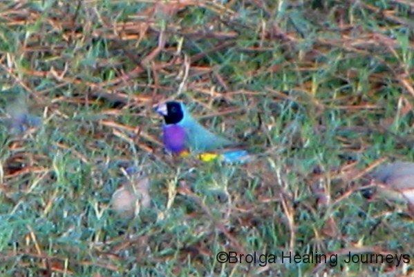 Gouldian Finch, Parry Creek Farm, near Wyndham WA