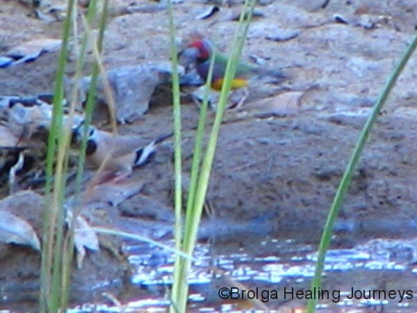Very blurry photo of Red-Faced Gouldian Finch, Mornington Wilderness Sanctuary, the Kimberley WA