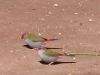 Red Browed Finch (Firetail), Bunya Mtns, QLD