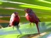Crimson Finches, Silent Grove, the Kimberley WA