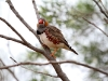 Another male Zebra Finch, Rainbow Valley NT