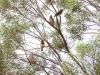 Zebra Finches, Rainbow Valley NT