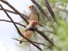 Zebra Finches - male in foreground, female background, Rainbow Valley NT