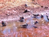Zebra Finches enjoy a puddle following rain, Tennant Creek NT