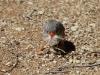 Zebra Finch gathers nesting material, Alice Springs