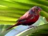 Crimson Finch, Silent Grove, the Kimberley WA