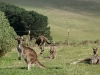 Family of Western Grey Kangaroos near Ranger station, Deep Creek Conservation Reserve
