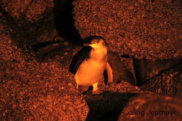 A Fairy Penguin safely back to shore.  Seen during nocturnal tour, Granite Island, Victor Harbour
