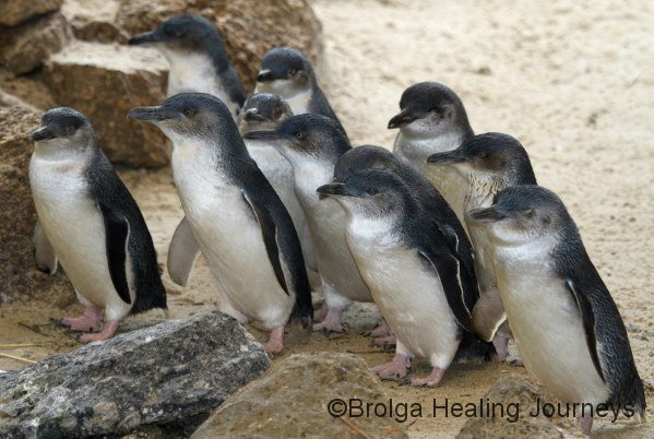 Fairy Penguins eagerly await feeding time, at the Granite Island Penguin Centre.  Injured and orphaned penguins are cared for at the centre.