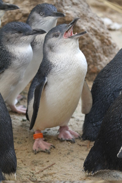 Plenty of attitude, Fairy Penguins at the Granite Island Penguin Centre