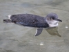 Fairy Penguins have amazing buoyancy.  Fairy Penguin Centre, Granite Island