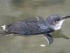 How cute am I? Fairy Penguin at the Penguin Centre, Granite Island