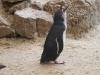 Where's my dinner.  A Fairy Penguin at the Granite Island Penguin Centre