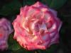 Rose in the gardens of Brighton Beach caravan Park, Adelaide