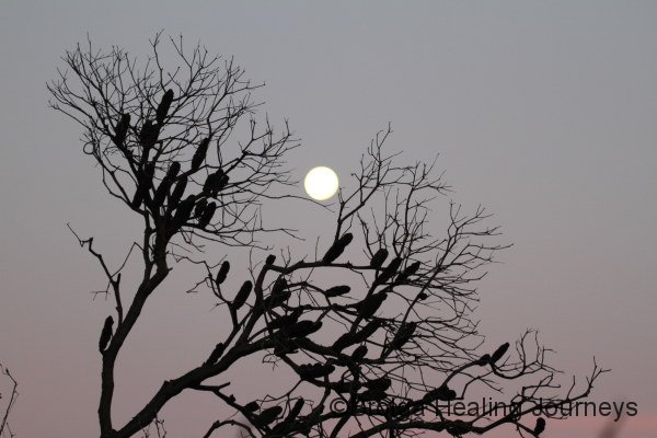 Full moon beyond the banksias, Flinders Chase National Park