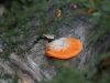 Wood fungus, Flinders Chase National Park, Kangaroo Island