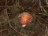 Another Fly Agaric emerges from the soil beneath our Drooping She-oaks