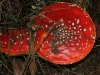 View of the two Fly Agarics from above