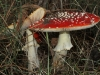 Two Fly Agaric (Amanita muscaria) specimens.