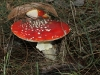 Another view of the two fly Agaric specimens.