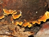 One of the many Woody Pore-fungi, or possibly even a Leathery Fungus.  Species to be determined.