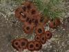 Coltricia cinnamomia
