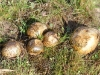 A colony of puffballs.