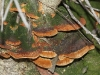 Not sure, possibly Phellinus wahlbergii