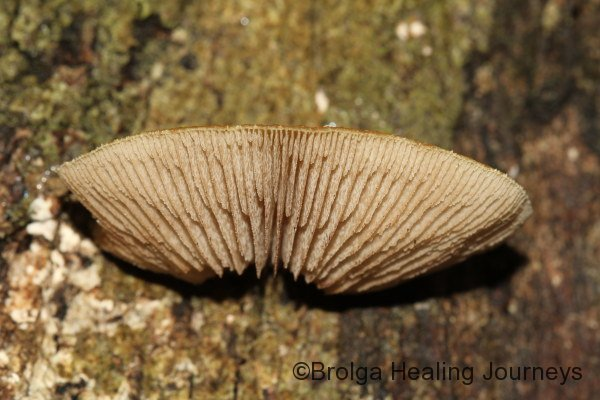 Possibly a Crepidotus sp.