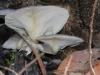Crepidotus nephrodes, I think.