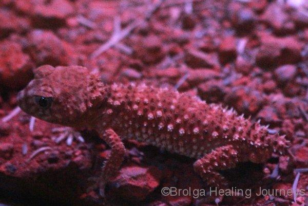 Centralian Knob-Tailed Gecko, Nocturnal house, Alice Springs Desert Park