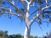 The Ghost Gum