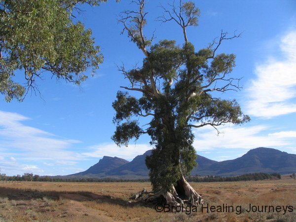 The famous Cazneaux Giant Red Gum, Flinders Ranges National Park, SA