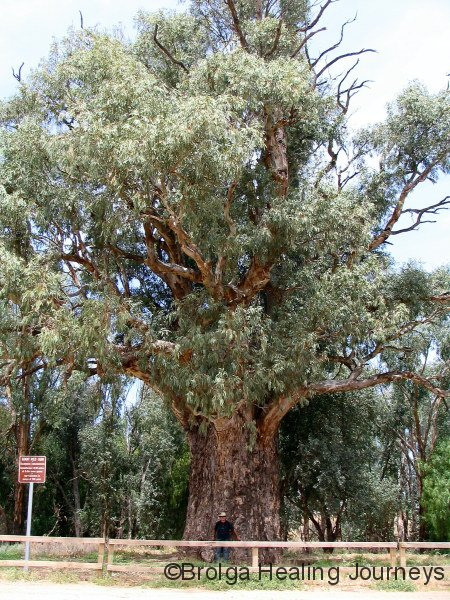 Giant Red Gum near Orroroo, SA