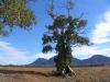 The famous Cazneaux Giant Red Gum, Flinders Ranges National Park, SA