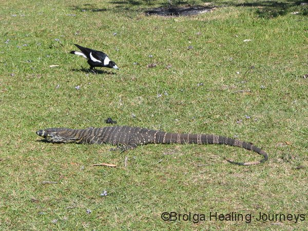 Lace Monitor, Crowdy Bay Ntl Pk, NSW.