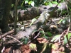 Lace Monitor in Ravensbourne Ntl Pk, Qld