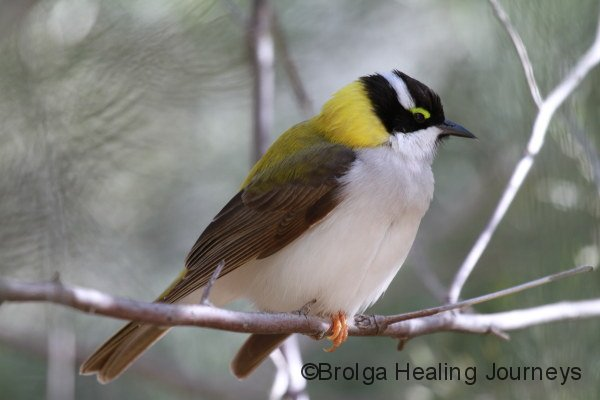 Golden-Backed honeyeater, Alice Springs Desert Park
