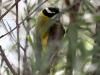 Golden-Backed honeyeater, Alice Springs Desert Park