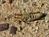 Another type of grasshopper.  Photo by Nirbeeja.  East MacDonnells