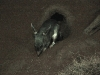 Greater Bilby, Noctural House of the Alice Springs Desert Park.